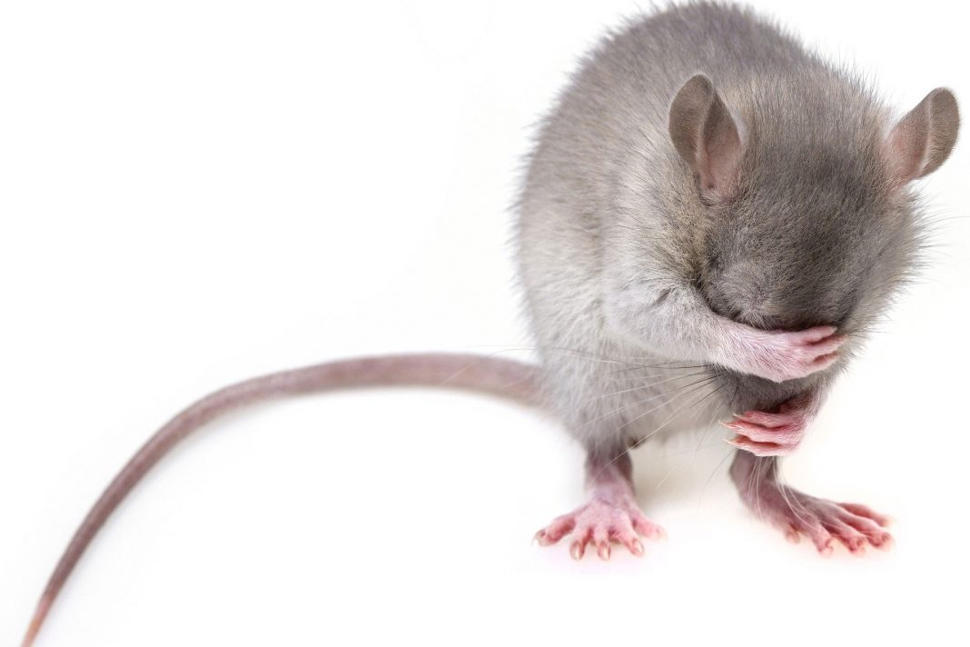 rats and people